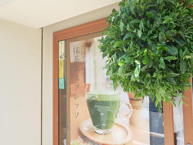 茶園清水屋の新茶の抹茶を楽しんで頂けるお...